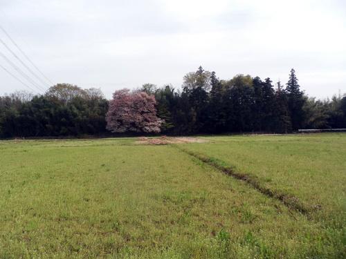 160416sakura1.jpg