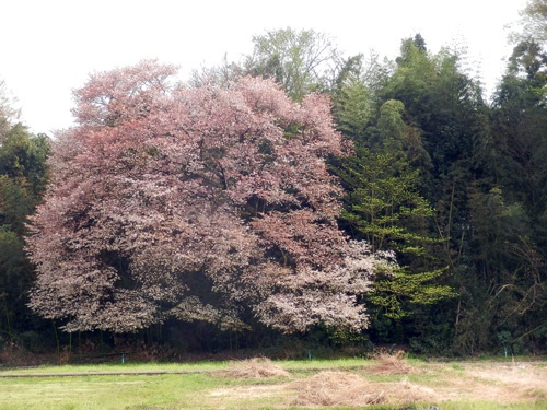160416sakura2.jpg