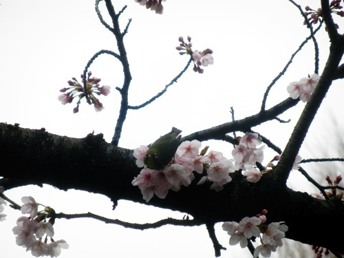 170408mejiro.jpg